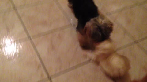Maltese puppy plays with her best friend