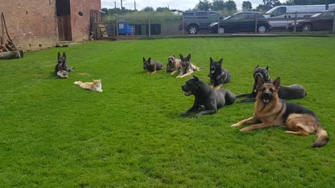 Incredibly Smart Pack Of K9's Show Off Their Training