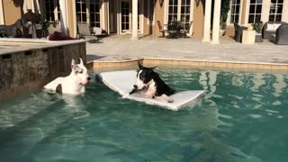 Great Danes enjoy a swim in the pool