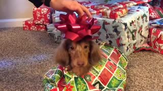Puppy gets wrapped like a present for Christmas