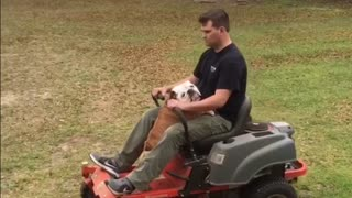 "Gerald the Bulldog ""helps"" owner mow the lawn"