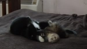 Ferret and cat are best friends - Video