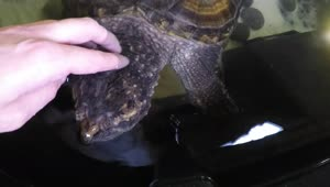Petting A Vicious Hybrid Snapping Turtle  - Video
