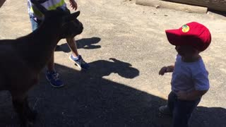 Goat and toddler dance off - Video