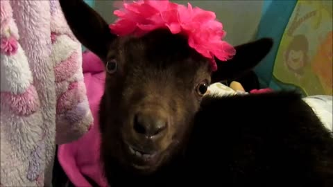 Cute baby goat will melt your heart
