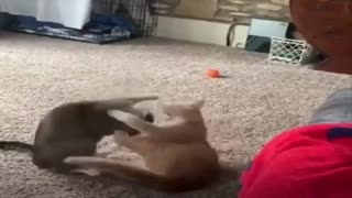 Watch the cat make wrestling moves