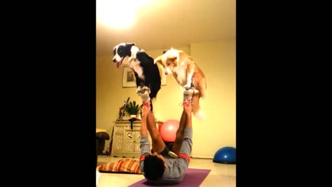Pair of dogs perform amazing circus trick