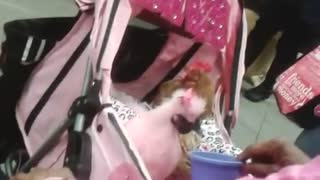 A Pink Chicken On A NYC Subway - Video