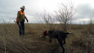 Pheasant Hunting - Video