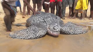 Sea Turtle Conservation in Liberia - Trokon Saykpa - Video
