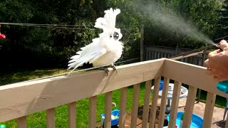 A parrot shower  - Video