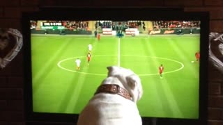 Bulldog loves soccer, deeply involved in match on TV - Video