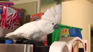 Cockatoo must dance every time she hears a beat