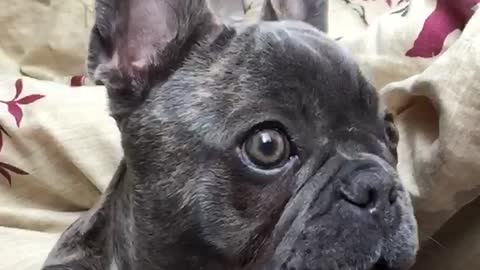This is what a shocked puppy looks like in slow motion