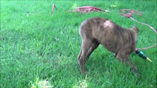 Puppy is fighting with a water hose - Video