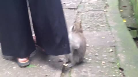 Monkey won't stop playing with woman's pants