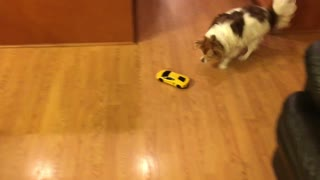 Corky the long hair chihuahua chasing a toy car