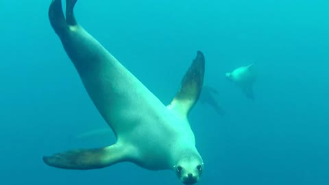Sea Lion Wants To Take A Nibble Of Some California Diver