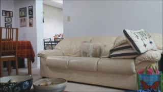 Dog Digs Imaginary Hole In Couch Before Relaxing - Video