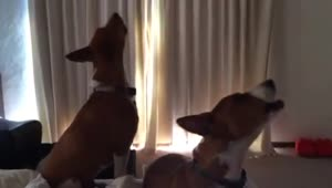 Basenji dogs singing in unison - Video