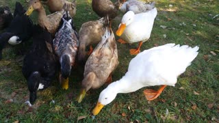 Feeding ducks at Huber's farm - Video
