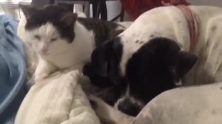 Cat cuddles dog in adorable morning routine - Video