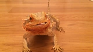 Bearded dragon super excited for hornworms - Video