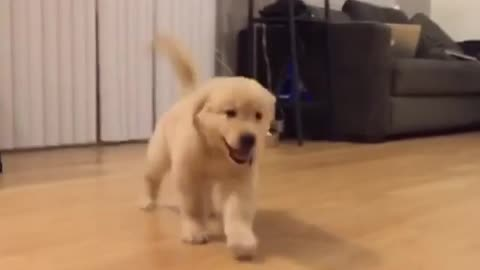 Golden Retriever puppy has fun time sliding on the floor
