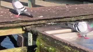 Pigeon trying to get some