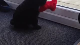 Black puppy dog carries red toy in mouth - Video