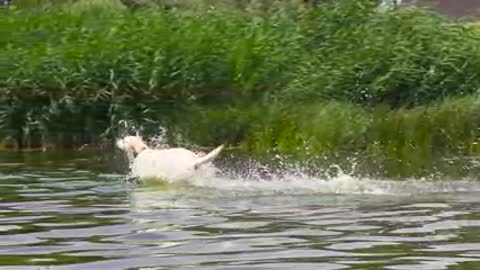 Dog Runs into the Water in Slow-Motion