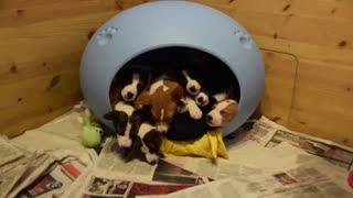Seemingly endless Basenji puppies pour out of dog bed - Video