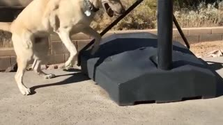 Large tan dog jumps and scratches basketball stand outside