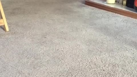 Rabbit Pet Wondering Around the House In Speed