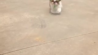 Shih tzu running for a treat - Video