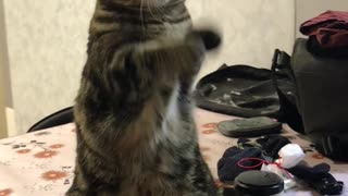 Cat begs for treats in cutest possible way