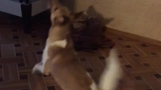 Dog jumps on wall reaching for light