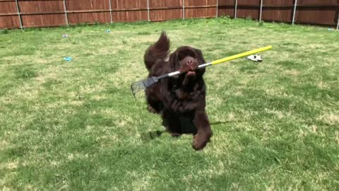 Huge Newfoundland helps with the yard work