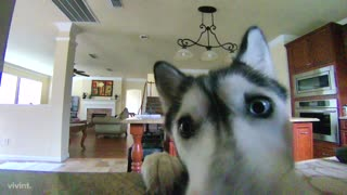 Husky notices hidden camera, avoids making mess in kitchen - Video