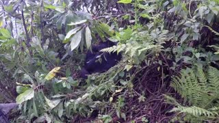 Getting Up-Close to a Mountain Gorilla