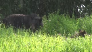 Bear Family - Video