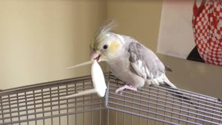 Does this cockatiel have paranormal powers? - Video