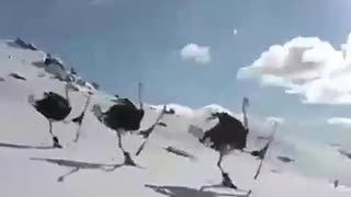 Ostriches Skiing