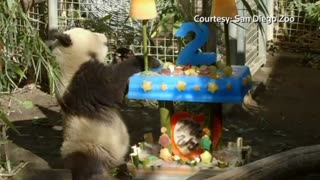 Precious San Diego Zoo panda cub turns two - Video
