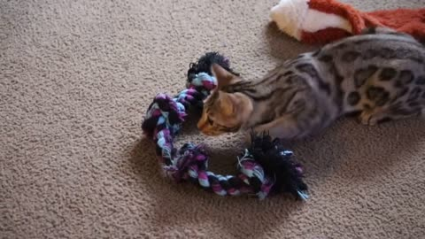 Saffron the Bengal Cat