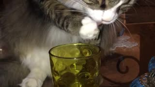Cat drinks water out of cup
