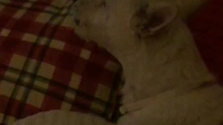 White dog howling while laying down on sofa - Video