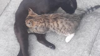 Big tiger kitty suckling from Mummy Cat and Mummy Cat Cleaning Kitten