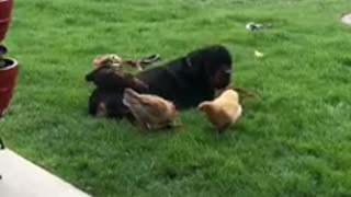 Chickens gather around their doggy best friend