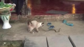 Cat Plays with Snake